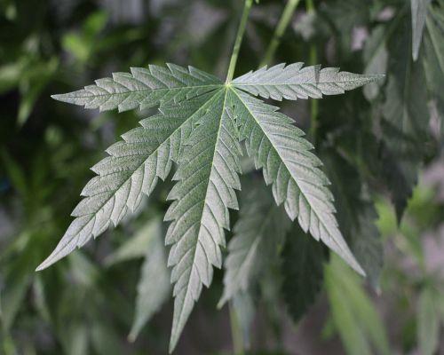 Bild zum Artikel Cannabis und beginnende Psychose